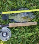"9"" Bluegill caught by ""Puck"""