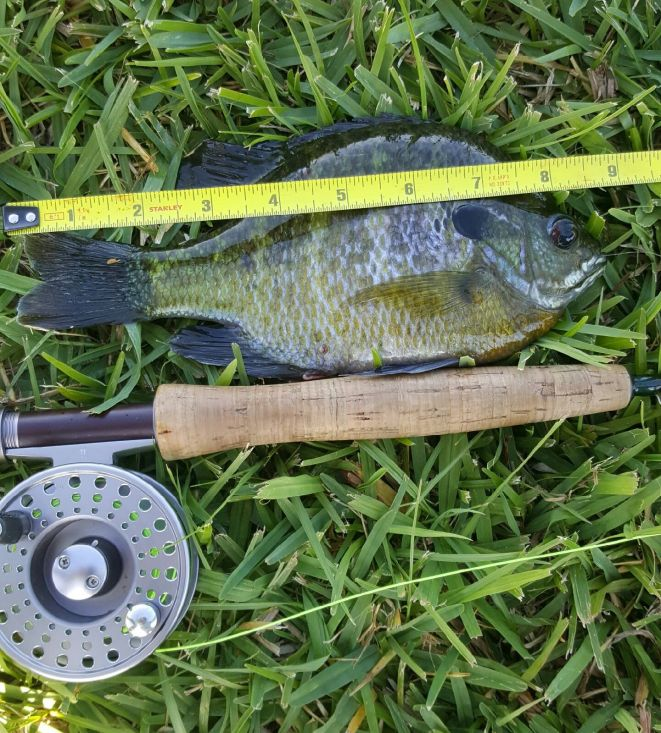 """9"""" Bluegill caught by """"Puck"""""""