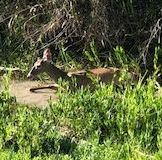 Deer on the side of the river.