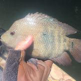 Nice Rio Grand Perch